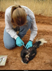 Private, federal researchers join forces to develop better, safer rabies vaccines as virus spreads in 2012