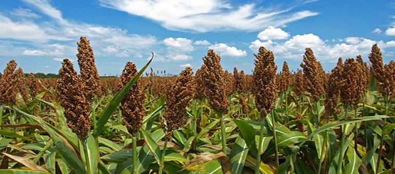 CSU and 9 institutions share $13.8M grant to discover best sorghum traits for biofuel production