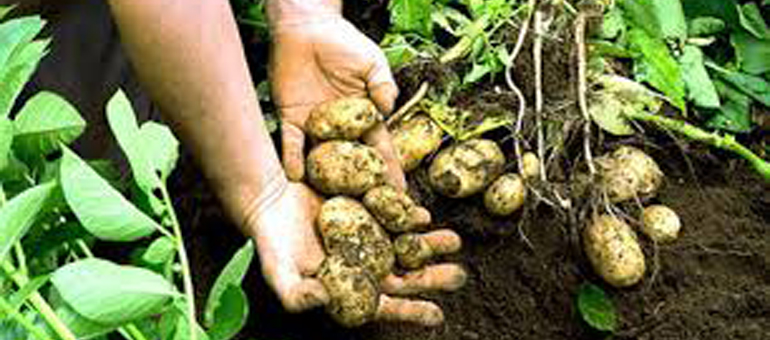 CSU: Potato pathogens meet their match through $8M research initiative
