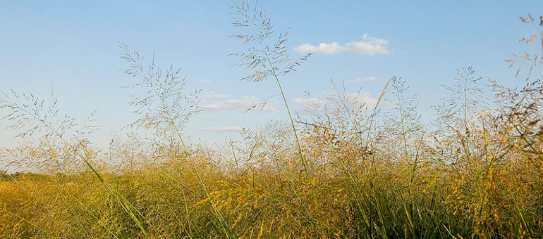 CSU researchers study switchgrass as alternative biofuel source to corn